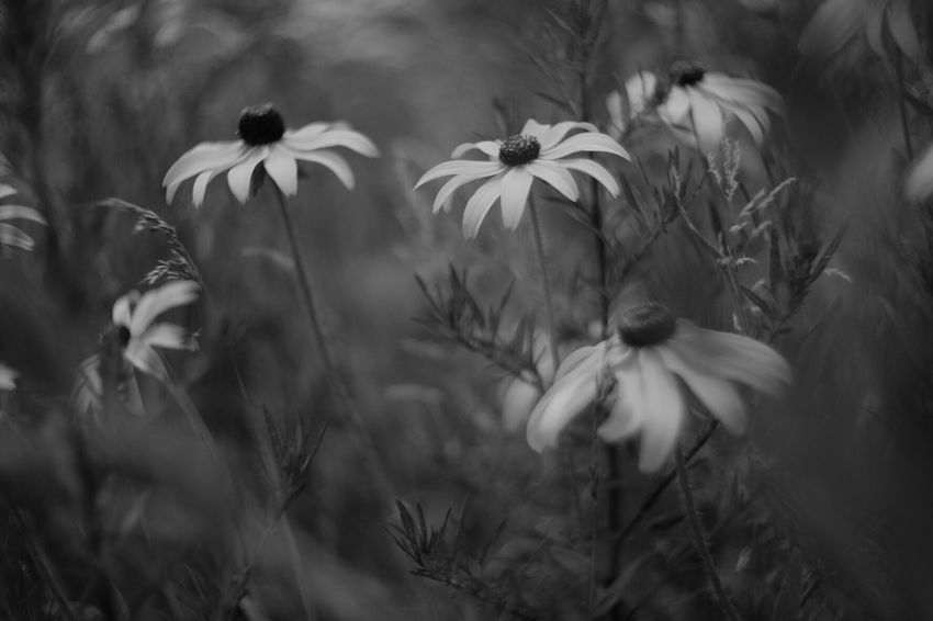 Give me flowers while I can still smell them Fuji X-T1 Pancolar 50mm F2 Wild Flowers FUJIFILM X-T1 EyeEm Nature Lover Carl Zeiss Jena Nature_collection Black And White Photography Flowers Flower