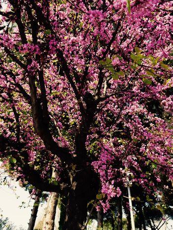 Trees Rose Tree Pompeii  City Nature Colour Pink
