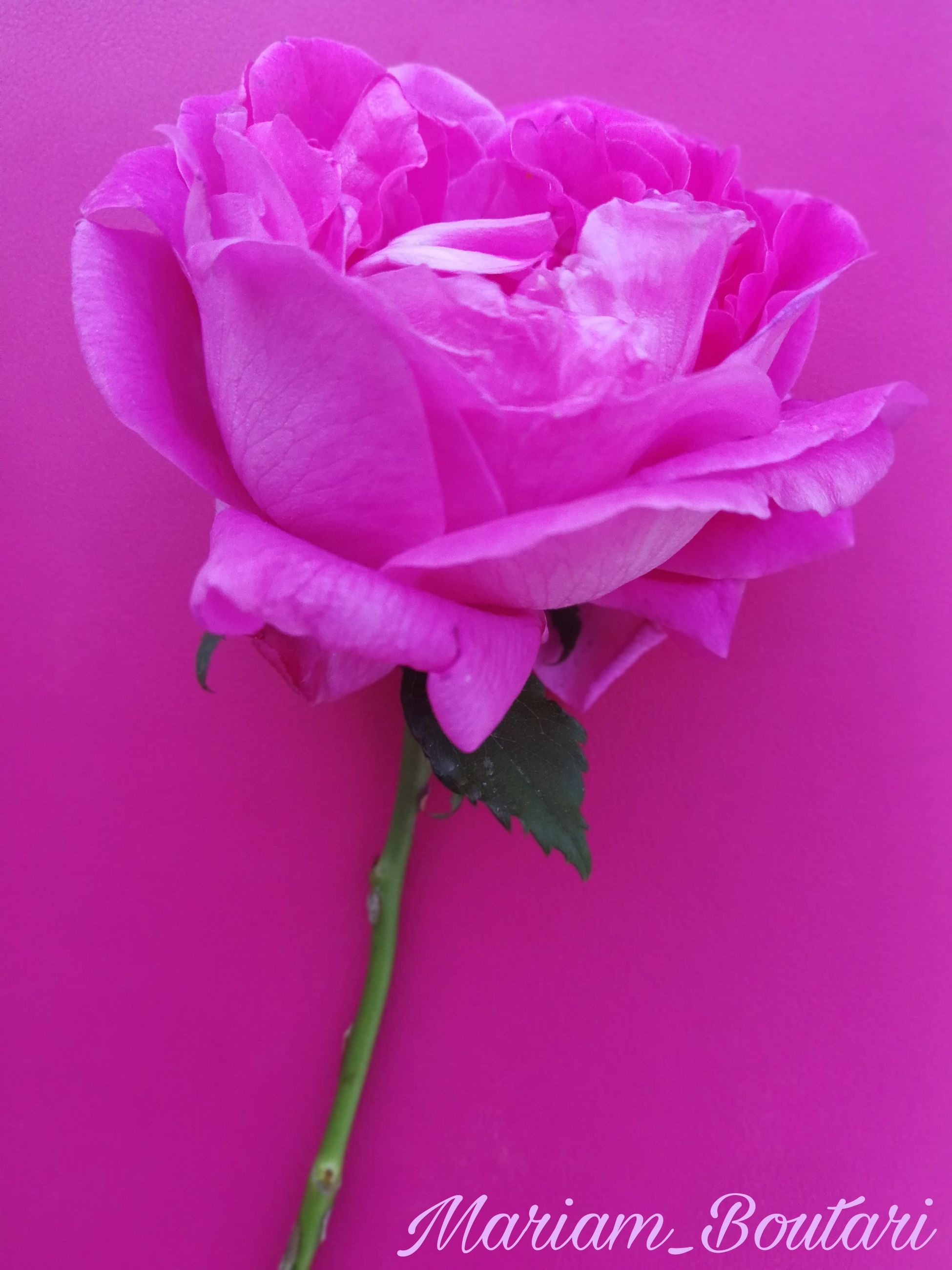 pink color, flower, flowering plant, plant, beauty in nature, petal, freshness, close-up, fragility, vulnerability, inflorescence, no people, flower head, nature, indoors, rose, growth, studio shot, rose - flower, colored background, purple