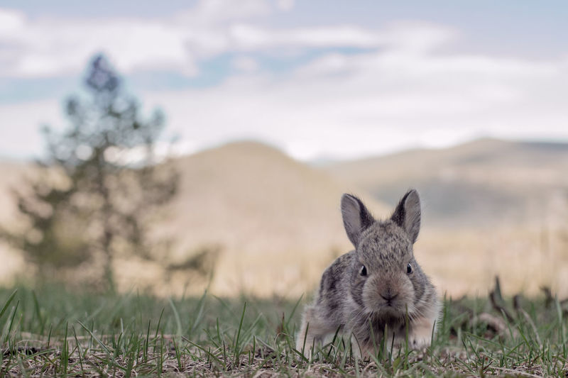 Rabbit On Field By Mountains Against Sky