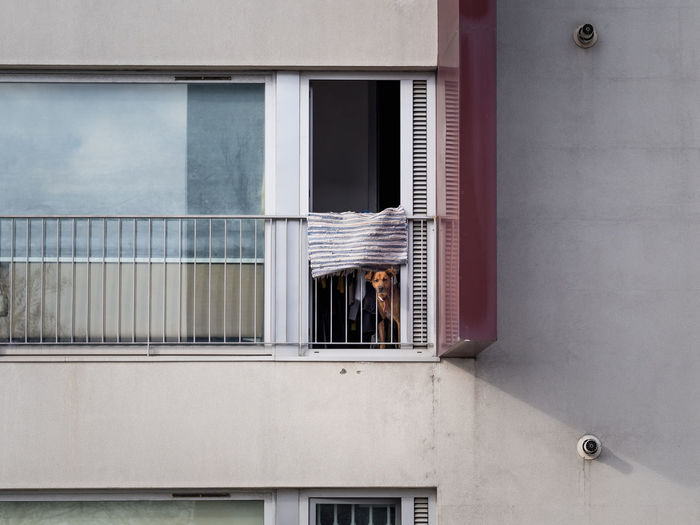 Dog looking from balcony of building