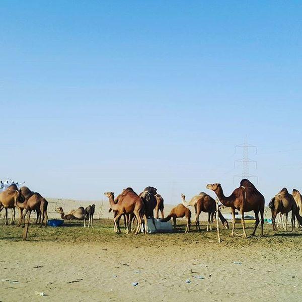 Peternakan onta di Kota Hubaidiah, MakkahShowcase: February Makkah Camel Sahara Desert Sahara Life Animal Themes Animal Photography Animal_collection Animals In The Wild Animal Desert