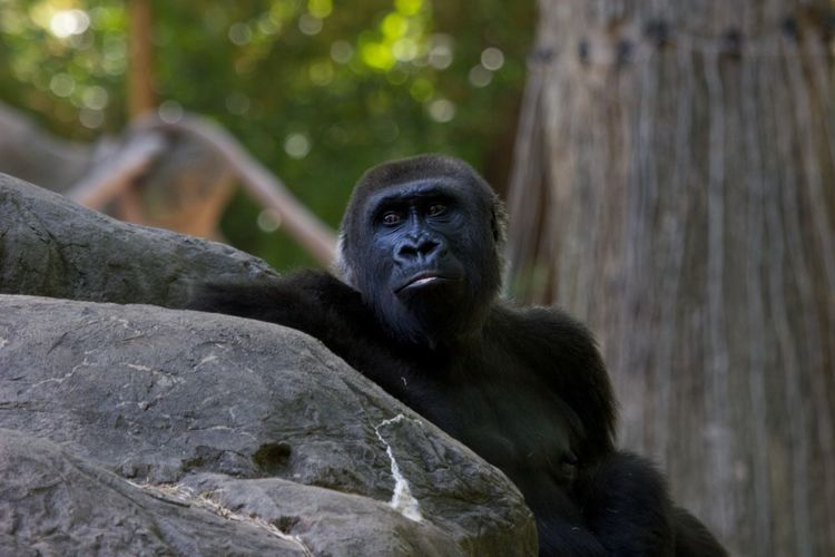 Gorilla By Rock At Zoo