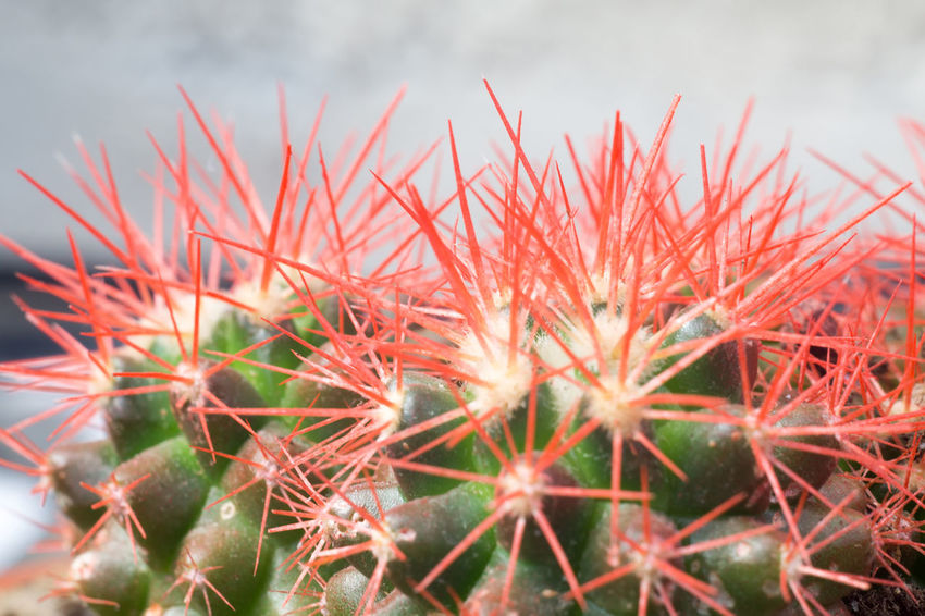 Cacti Cactus Nature Spikes Succulents SucculentsLover Background Backgrounds Beauty In Nature Cactus Close-up Day Green Cactus Growth Grusonii Macro Nature No People Outdoors Plant Rainbow Red Spikes Spiked Succulent Succulent Plant