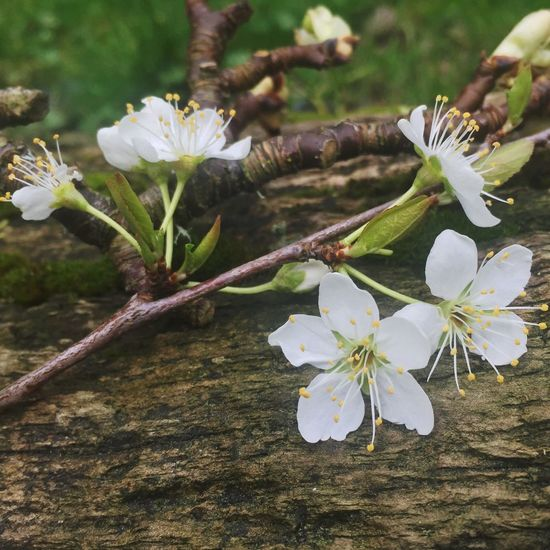 Spring New growth plum flowers Macro Beauty IPhone 6+ Iphonephotography IPS2016Nature IPS2016White