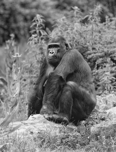 Gorilla relaxing on hill