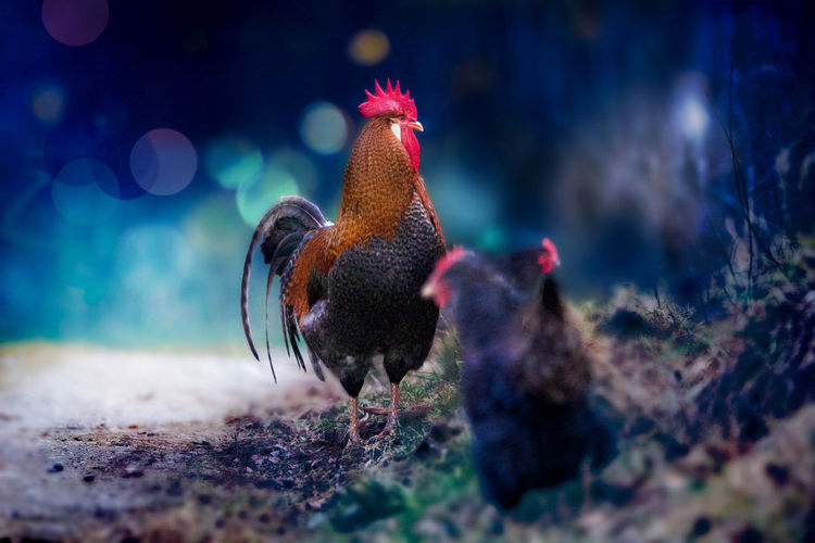 Rooster and hen on field