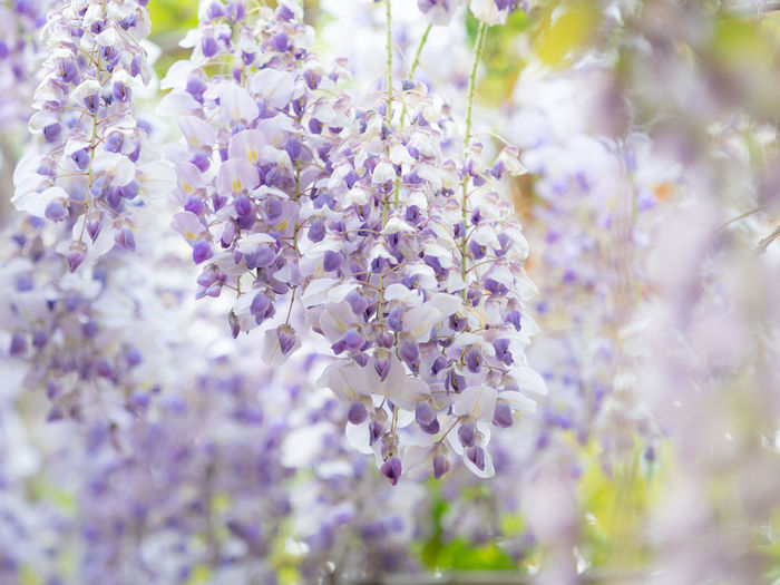 Beauty In Nature Blossom Close-up Day Flower Flowering Plant Fragility Freshness Growth Lavender Lavender Colored Lilac Nature No People Outdoors Plant Purple Selective Focus Springtime Vine Vulnerability  Wisteria