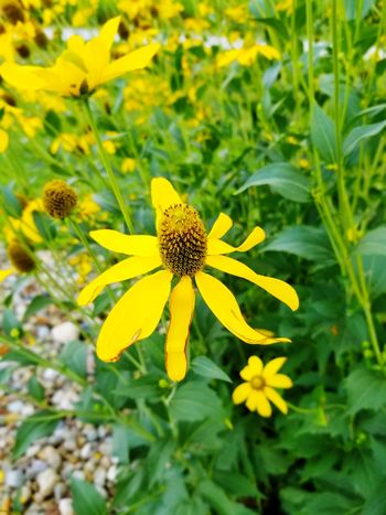 Flower Flower Yellow Plant Alternative Medicine Fragility Nature Summer Flower Head Botany Petal Outdoors Beauty In Nature Blossom No People Focus On Foreground Day Growth Beauty Close-up Botanical Garden