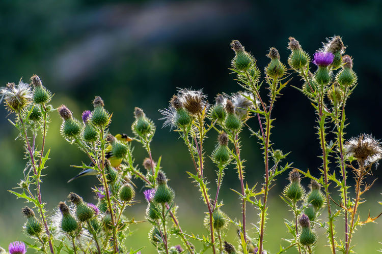 Thistle Weeds Pretty Weeds Wildflower Prairie Nature Golden Hour Glowing Illuminated Gone To Seed Thorns Green Purple