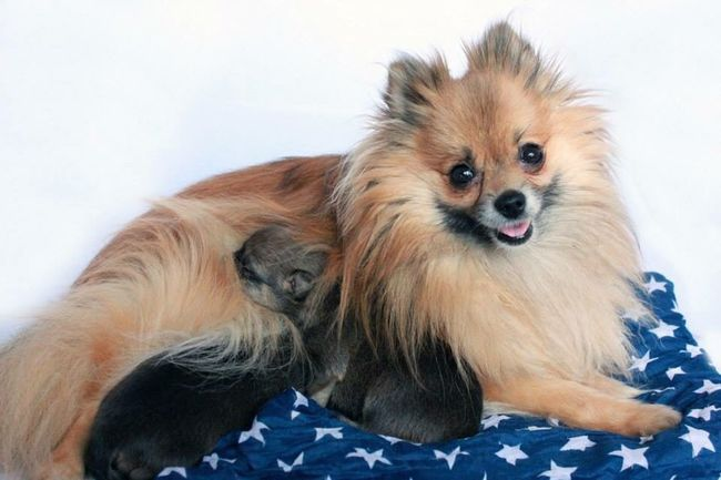 Baby & pups Smile Proud Dog Pets Domestic Animals Animal Themes Pomeranian Puppy Looking At Camera