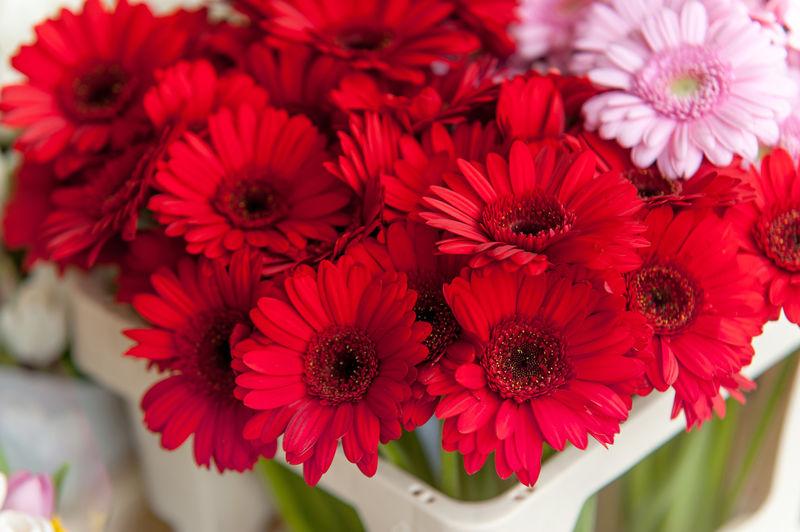 Close-up of red gerbera daisies blooming in vase