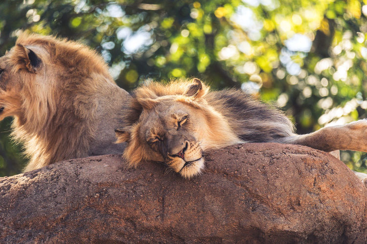 Lion Life Animal Body Part Animal Head  Animal Photography Animal Themes Animal Wildlife Animals In The Wild Beautiful Animals  Cats Feline Furry Lions Living Organism Nikon D750 Outdoors Photographyisthemuse Predator Wildlife Photography WithMyTamron