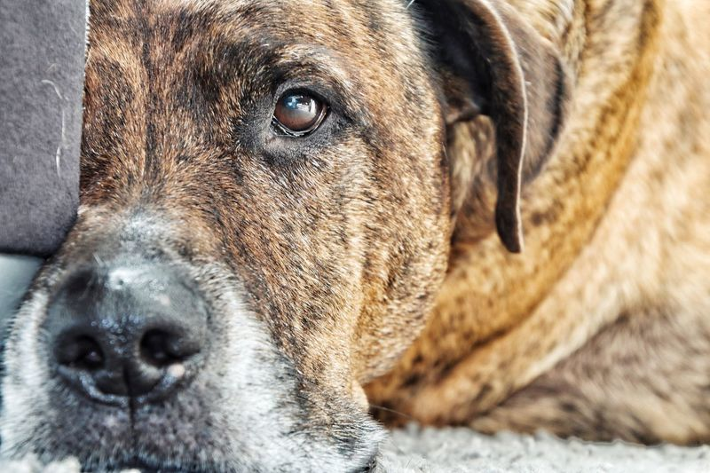 Old and Grey! But still pretty! EyeEm Selects One Animal Dog Pets Close-up Portrait Animal Themes Domestic Animals EyeEm Vision Eye4photography  Streamzoofamily EyeEm Gallery Dogs Of EyeEm