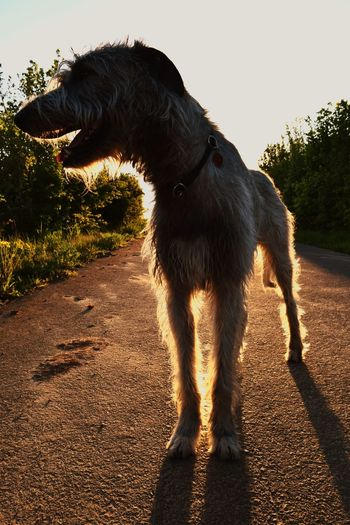 Taking Photos Check This Out Sun Dog Of The Year 2016 Gegenlicht Dog Of The Day Dog Love Spring Is Here Spring 2016 Herrentag Dog Of Eyeem How's The Weather Today? Dogwalk Dogslife Cearnaigh Irish Wolfhound The Places I've Been Today May 2016 Evening Light