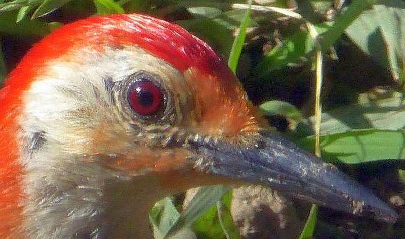 Animal Eye Beak Bird Close-up Focus On Foreground One Animal Red Wildlife Wood Pecker