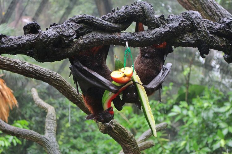 Flying Fox Eating Animals Eating Animals Eating Fruit Eating Fruit Tree Fruit Branch Perching Water Close-up Animal Themes Food And Drink