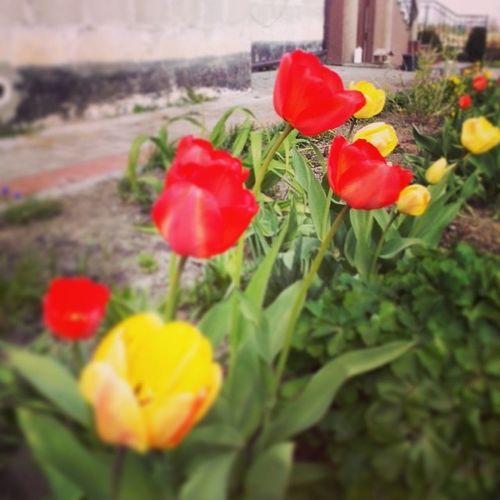Wies Tulipany Ogrodek Wiosna slonce