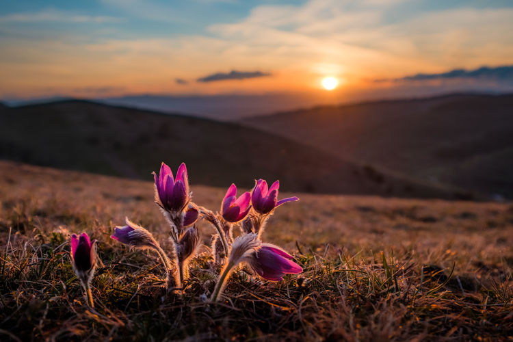 Close-Up Of Pink Crocus Flowers On Field Against Sunset Sky
