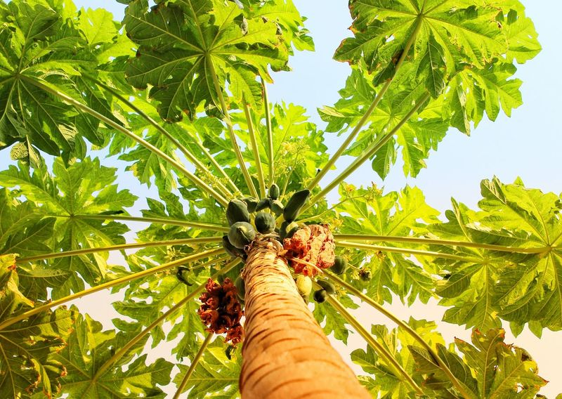 A close-up shot of a papaya tree on a hot Sunny day.Close-up Tree Papaya Tree Papaya Fruit Sweet Fruits Leaves And Sky Niceview Wallpaper Background Wallpaper For Computer Wallpaperstockphotos Naturewallpaper Colorful Eyem Best Shots Eyem Nature Lover Eyembestseller