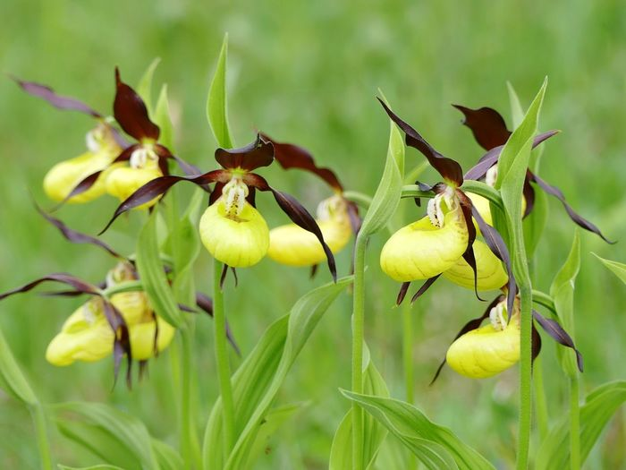 Cypripedium calceolus Cypripedium Outdoor Photography Wilderness Orchid Flower Rare Rare Beauty Cypripedium Orchid Orchid Blossoms Backgrounds Meadow Beauty In Nature Yellow Flower Spring Flowers Idyllic Scenery Wildflower Wildflowers Nature Beauty In Nature Background Leaf Flower Close-up Plant Green Color Uncultivated Flora Blooming In Bloom Blossom