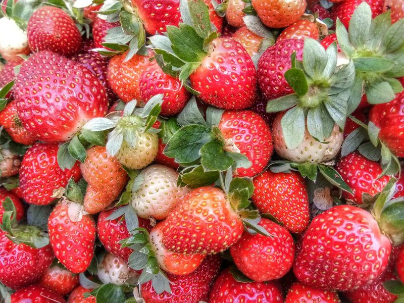 strawberry from Cameron Highland. Malaysia Fresh Leaf Green Farm Strawberry Farm Cameron Highlands Sweet Fruit Delecious Sweet Sour Close-up Food And Drink Strawberry Served Agricultural Field Farmland Berry