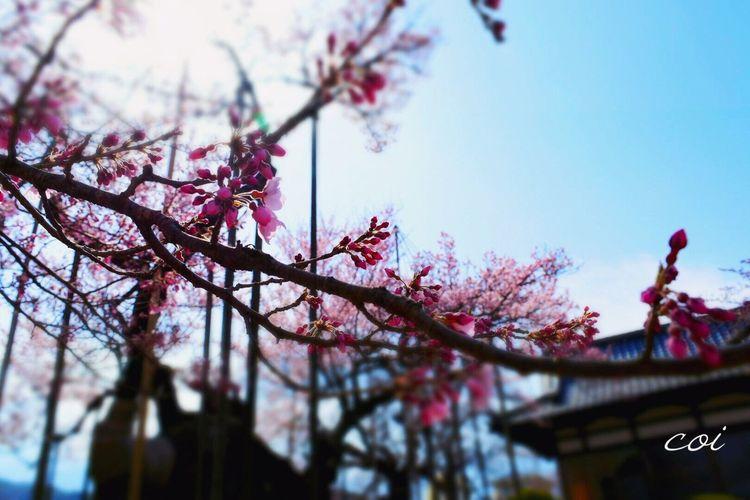 樹齢2000年 様々な時代を静かに見守り 芽吹き、花を咲かせ、緑を湛える…二千年そう繰り返し、人の心を癒してきたんだ。 山高神代桜 山梨県 Emeyebestshot Japan EyeEm Best Shots - Nature