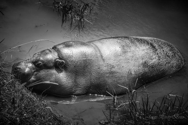 hippo Close-up