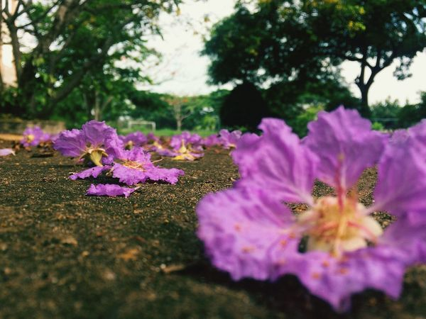 Flower Purple Pink Color Nature Selective Focus Beauty In Nature Plant Outdoors No People Day Growth Fragility Close-up Tree Freshness Flower Head Nature Beauty Likeforlike Nature Photography Like4like Phuognhy Likesforlikes Freshness Nature Beauty In Nature