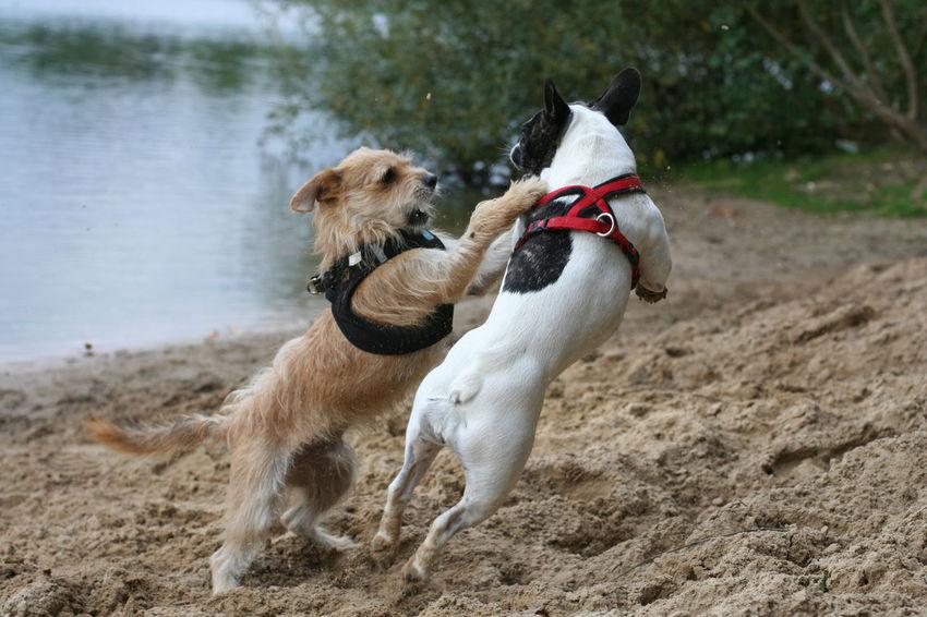 Bully Dog Dogs Draußen Französische Bulldogge  French Bulldog Frenchbulldog Frenchie Hund Hunde Kämpfende Hunde Outdoors Playing Dogs Spielende Hunde