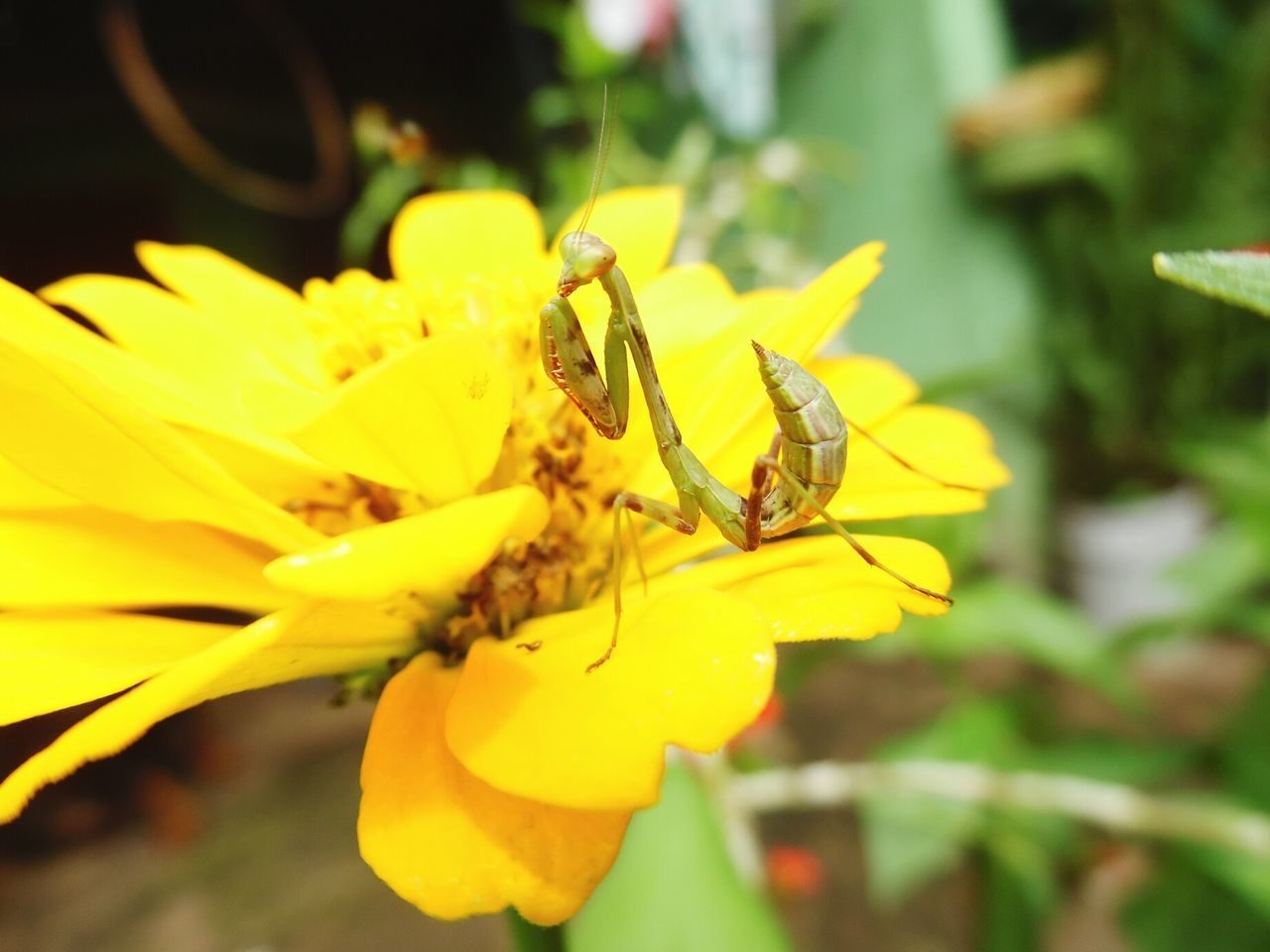 yellow, insect, flower, animals in the wild, animal themes, one animal, petal, nature, growth, animal wildlife, day, close-up, plant, outdoors, fragility, focus on foreground, no people, beauty in nature, flower head, freshness, pollination, bee