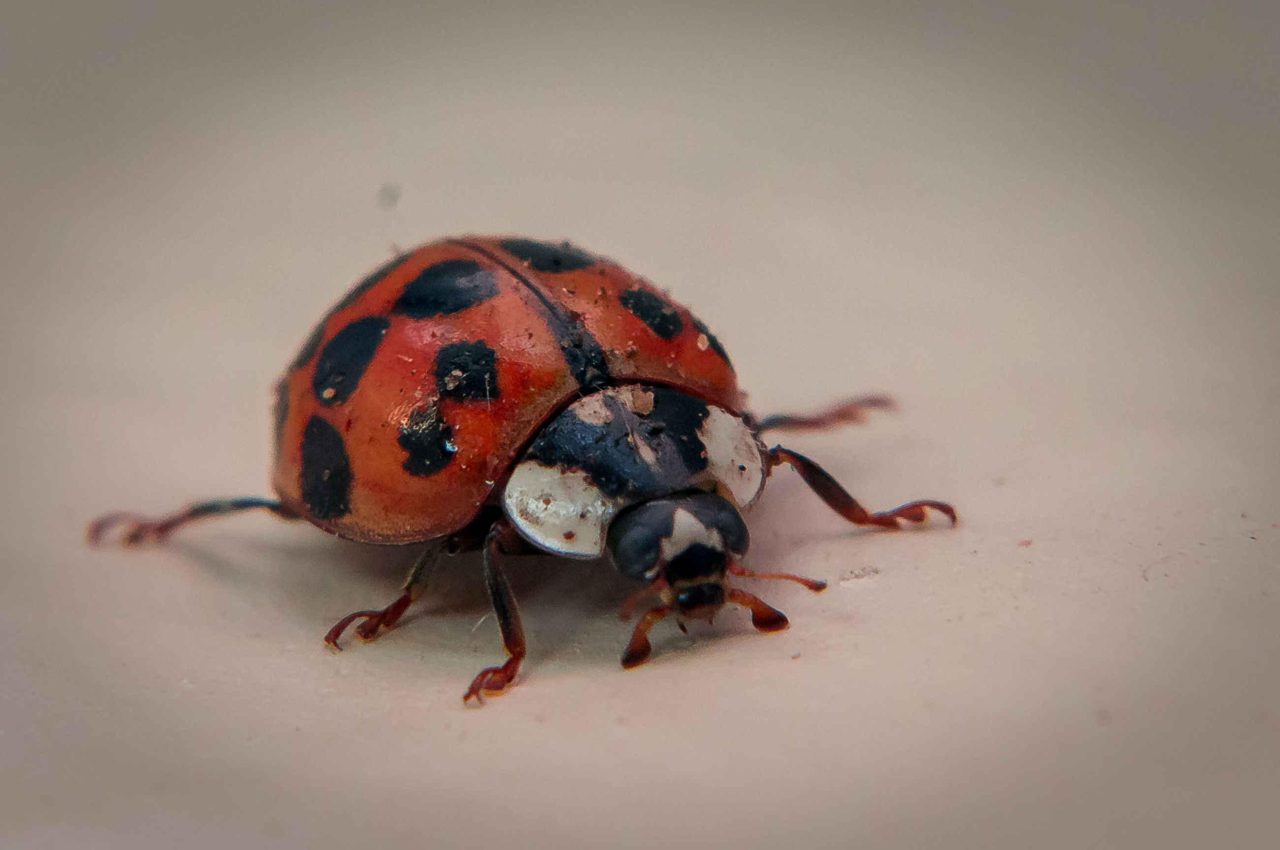 animal themes, one animal, insect, wildlife, animals in the wild, close-up, indoors, ladybug, selective focus, high angle view, red, no people, nature, brown, studio shot, wall - building feature, day, dry, vignette, animal antenna