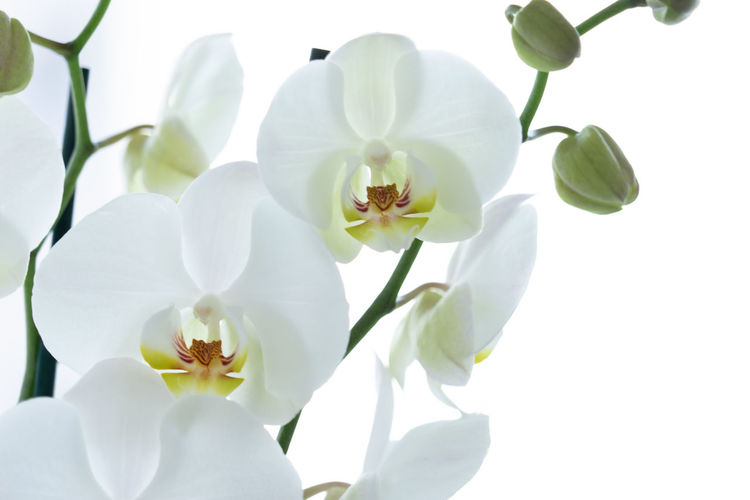 Close-up of orchids growing against white background