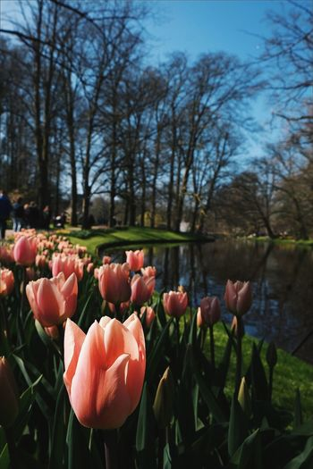 Keukenhof Garden Flower Nature Growth Freshness Beauty In Nature Tulip Sky Outdoors Day Plant Red Walking Around Beauty In My Every Day Life Sunny Day Sunshine Blue Spring Park Springtime Nice Day Freshness Flowers
