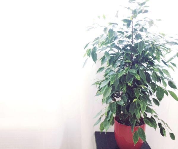 Ficus Benjamin Plant Nature Green Freshness White Background Day Studio Photo Photography