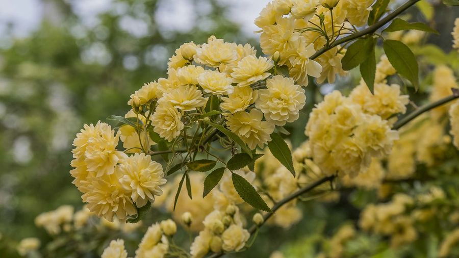 Flower Flowering Plant Plant Yellow Freshness Fragility Beauty In Nature Vulnerability  Close-up Growth Petal Focus On Foreground Nature Flower Head Inflorescence Day Outdoors No People Selective Focus Springtime