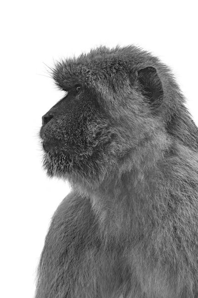 Barbary macaque isolated against white Animal Animal Face Animal Themes Animal Wildlife Animals In The Wild Barbary Macaque Black And White Close-up Copy Space Glance Isolated Against White Isolated White Background Mammal Monkey No People One Animal Profile Sharp White Background Wild