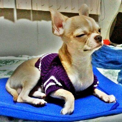 Chihuahua Applehead POTD PhotoADayJanuary dogstagram dogoftheday @dogoftheday pets petstagram petoftheday dogs pawtraits webstagram l4l instadaily igdaily instagood