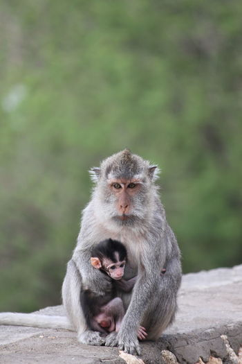 Monkey sitting young one on land