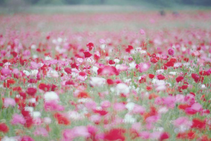 ひなげし シャーレーポピー Pentax K-3 鴻巣花まつり 鴻巣ポピー・ハッピースクエア Flower Flowering Plant Plant