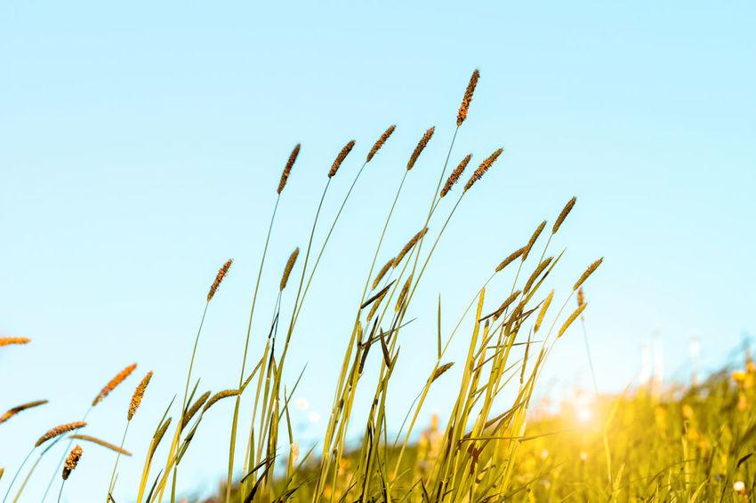 Flowering grass in detail - Allergens - Allergy in Germany Allergies Allergies! Grass Spring Flowers Sun Beatiful Day.. Allergy Allergy Season Allergyseason Biology Biologyfieldwork Flowers Grass Area Hay Fever Pollen Pollen On Flowers Spring Flowers