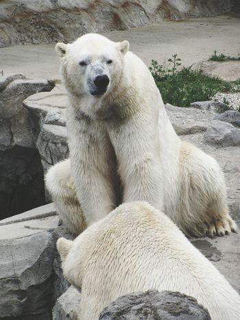Polar Bear Polar Bears Zoo Taking Photos Zoo Animals  Wild Animal Nature Animal Animals
