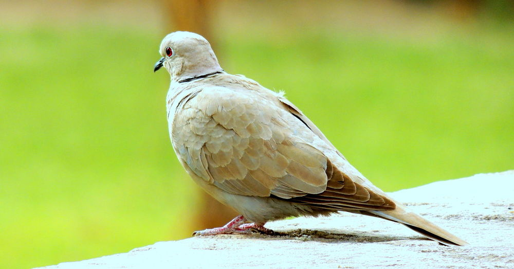 Close-Up Of Mourning Dove Perching Outdoors