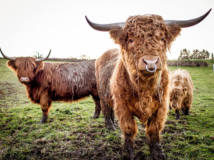 Scottisch highland cattle on the pasture Pets Animal Portrait Field Standing Grass Livestock Domestic Land Cattle Mammal Highland Cattle No People Looking At Camera Herbivorous Horned Group Of Animals Animal Themes Domestic Animals Animal Hair Domestic Cattle Vertebrate