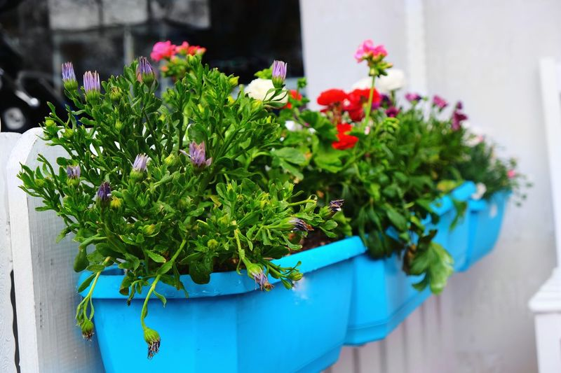 Flower Plant Potted Plant Nature Outdoors Growth Day Green Color Beauty In Nature Summer No People Freshness Close-up Fragility Flower Head Huwei P9 Photography HuaweiP9 Blue Tranquility Turkey Ankara Eyemphotography P9 Huawei Be. Ready.