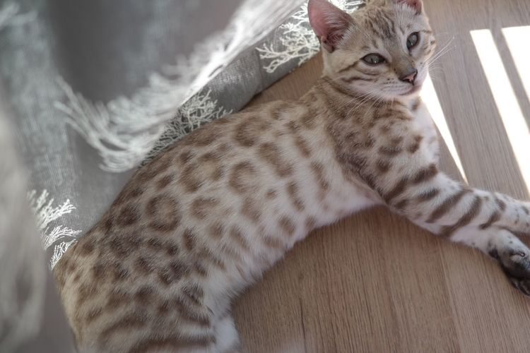 .::Tired Bengal kitten::. Bengalcat  Bengal Pets Domestic Cat Animal Themes Domestic Animals One Animal Cat Mammal Feline Indoors  Animal Relaxation Looking At Camera Whisker Whiskers No People Resting Bengal Cat