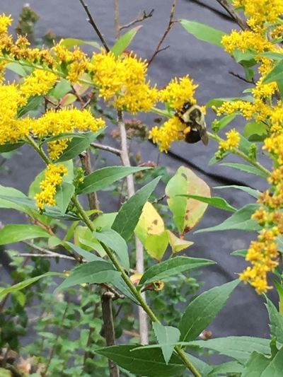 Beauty In Nature Bee Blooming Close-up Day Flower Flower Head Fragility Freshness Goldenrod Green Color Growth Leaf Nature No People Outdoors Petal Plant Tree Yellow