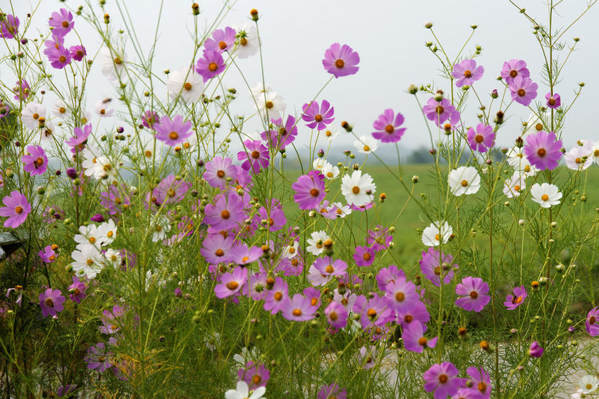 cosmos flower at Hakwon Farm in Gochang, Jeonbuk, South Korea Autumn Cosmos Flower Autumn Flower Beauty In Nature Blooming Close-up Day Flower Flower Head Fragility Freshness Gochang Growth Hakwon Farm Nature No People Outdoors Pink Color Plant