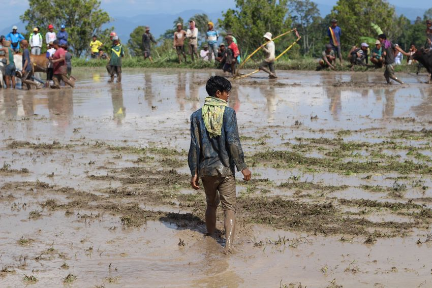 Pacu Jawi in West-Sumatra, Indonesia. Pacu Jawi Adult Adults Only Ankle Deep In Water Beach Beauty In Nature Day Full Length Lifestyles Men Nature One Person Outdoors People Puddle Real People Sand Tree Water