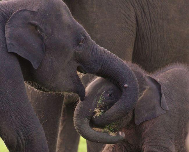 Elephant feeding calf
